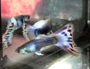 two male guppy