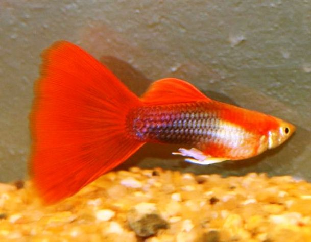 red male guppy