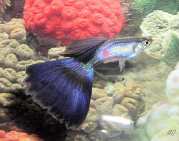 blue fancy male guppy