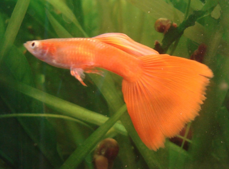 orange male guppy