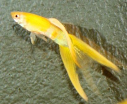 large fancy yellow male guppy