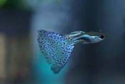 blue spotted male guppy