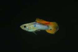 small male guppy