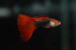 red/black male guppy