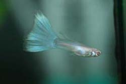 pale male guppy