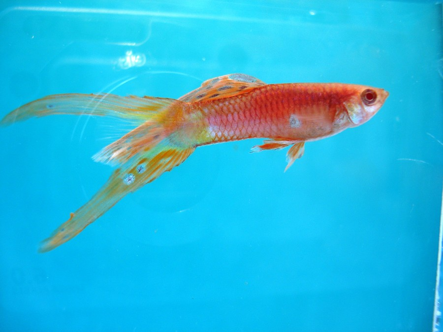 split tail yellow and red guppy