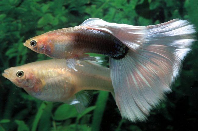 white male guppy and pregnant female guppy