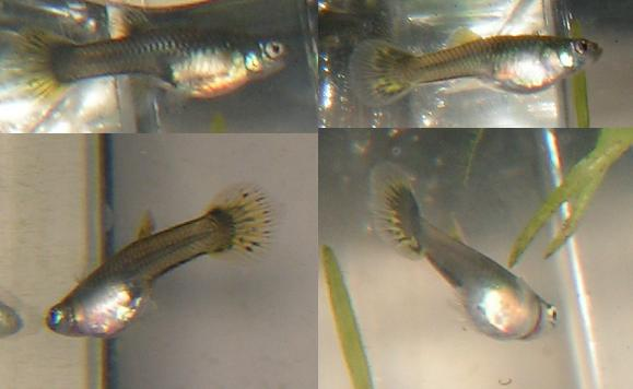male and female guppy fry